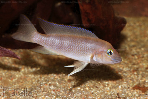 neolamprologus-sp-aff-yellow-ej-h.2