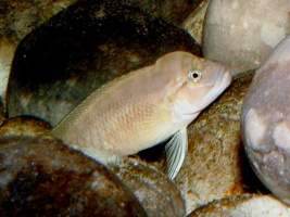 Telmatochromis sp. 'shell' en aquarium