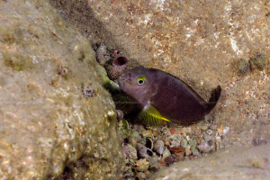 Tropheus brichardi Bulu point