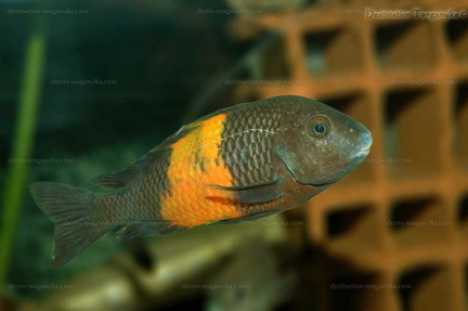 "Tropheus sp. ""black"" Pemba"