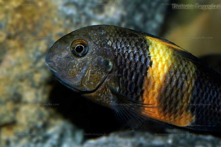 "Tropheus sp. ""black"" Pemba en incubation"