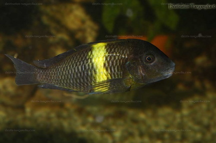 "Tropheus sp. black ""Mboko"""