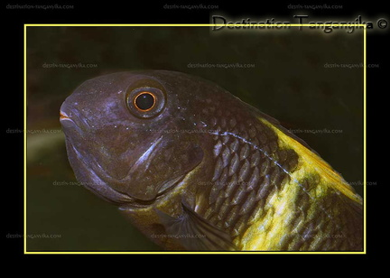 "Tropheus sp. black ""Kiriza"" en incubation"