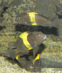 "Tropheus sp. black ""Kiriza"""