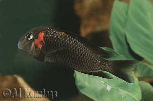 "Tropheus sp. black ""Karamba"""