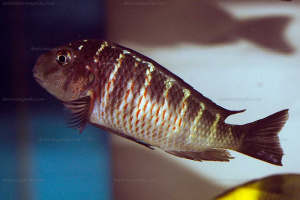 "Tropheus sp. black ""red belly, Kalilani"""