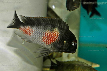 "Tropheus sp. black ""red belly, Bulu point"""