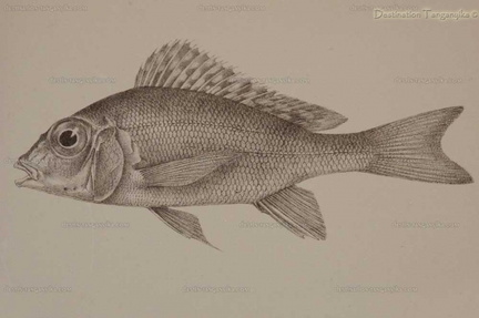Tylochromis polylepis (planche)