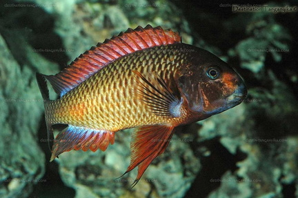"Tropheus sp. red ""Kachese"" en aquarium."