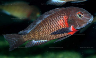 "Tropheus sp. red ""Lupota"""
