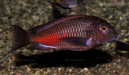 "Tropheus sp. red ""Moliro"""