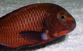 "Tropheus sp. red ""Ndole"""