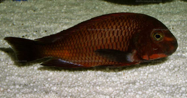 "Tropheus sp. red ""Ndole"" en aquarium"