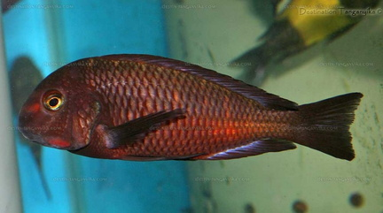 "Tropheus sp. red ""Chiwena"""