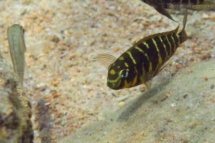 "Tropheus sp. ""Mpimbwe"" (yellow Kolongwe)"