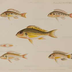 Callochromis spp. Regan 1920