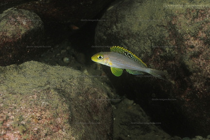Xenotilapia sp. sunflower (cape Muzi)