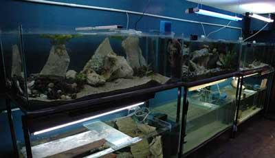 6 aquariums de 450 litres dans le locarium du Tanganyika .
