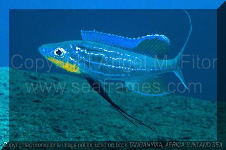 Tanganyika, Africa's Inland Sea | Benthochromis tricoti.