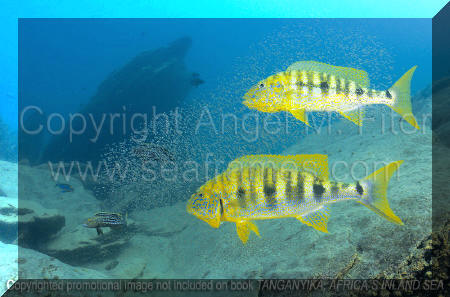 Tanganyika, Africa's Inland Sea | Couple de Boulengerochromis avec son frai.