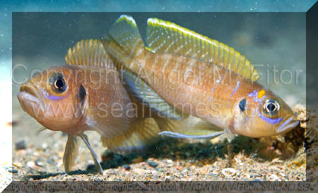 Tanganyika, Africa's Inland Sea par Angel M. Fitor | Neolamprologus brevis.