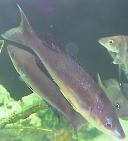 Cyprichromis microlepidotus en aquarium.
