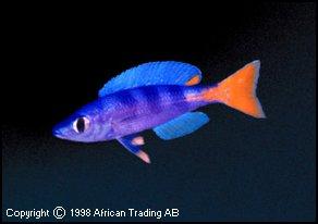 Cyprichromis_leptosoma_Cap_Mpimbwe_Utinta_Flourescent.jpg (9158 octets)