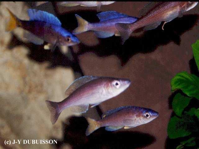 Cyprichromis leptosoma Cap Mpimbwe (Utinta Flourescent) 9 (JYD).jpg (62396 octets)