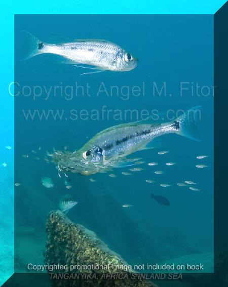 Couple d'Haplotaxondon dans son milieu naturel | Tanganyika, Africa's Inland Sea.