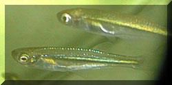 Lamprichthys (alevins de 2 mois et demi).