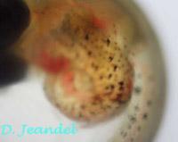 Oeuf Lamprichthys détail (abdomen).
