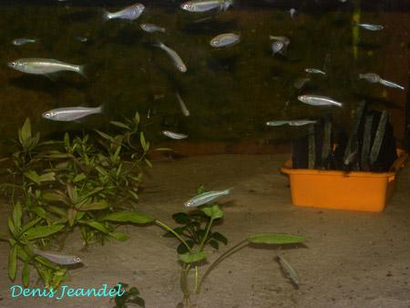 Aquarium Lamprichthys.