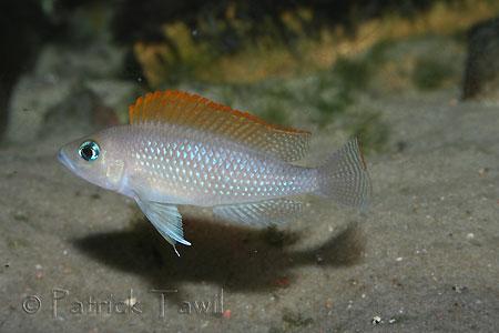 Neolamprologus caudopunctatus, individu sauvage chez Heinz Büscher.