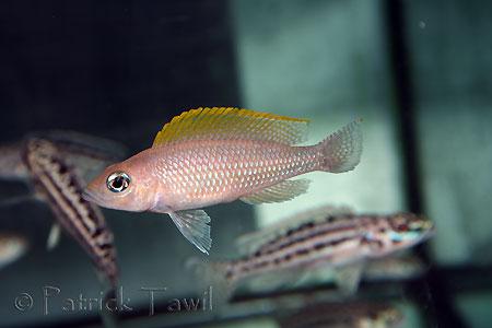 Neolamprologus caudopunctatus, adulte au magasin Abysse.
