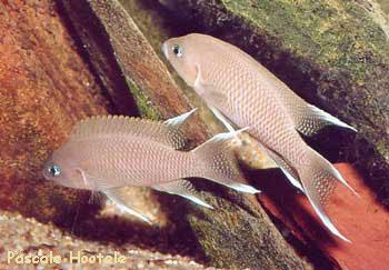 Neolamprologus marunguensis (couple).