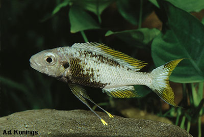 Ophthalmotilapia ventralis 'orange fin'.
