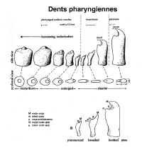 Les dents pharyngiennes des cichlidés du lac Tanganyika.