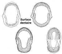 Surface dentaire chez les cichlidés.