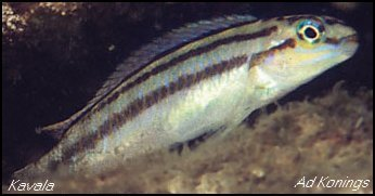 Telmatochromis bifrenatus Kavala