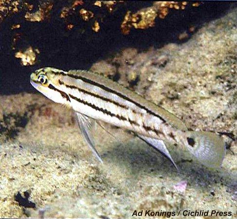 Telmatochromis bifrenatus Sibwesa