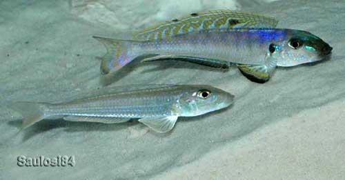 Xenotilapia melanogenys | Enantiopus melanogenys.