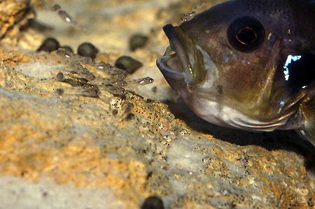 Triglachromis otostigma, femelle emmagasiant ses alevins lors d'une alerte.
