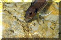 Triglachromis otostigma, femelle crachant ses jeunes pour qu'ils se nourrissent.