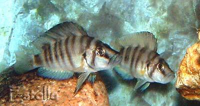 Altolamprologus sp. compressiceps shell couple.