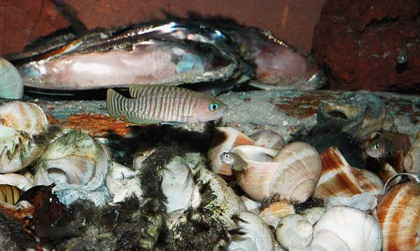 Neolamprologus multifasciatus et alevins.