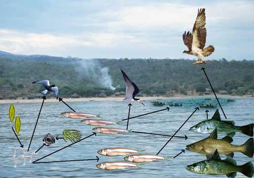 La communauté pélagique du lac Tanganyika.