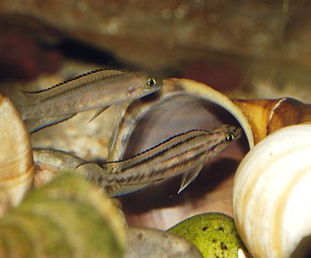 Telmatochromis bifrenatus (deux individus sub-adultes) se geaugant devant une coquille)