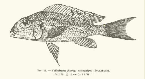 Planche des cription de Callochromis melanostigma.