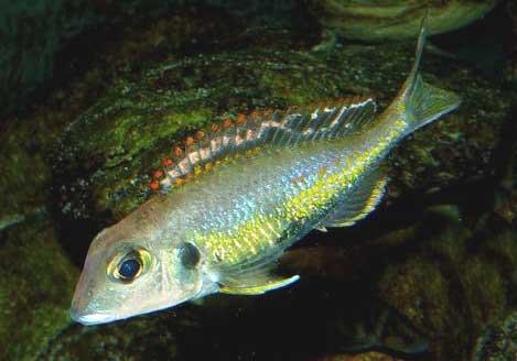 Calolochromis pleurospilus.