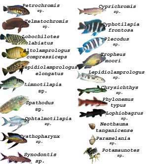 Les communautés sublittorales du lac Tanganyika.